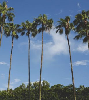 A row of palm trees against a blue sky