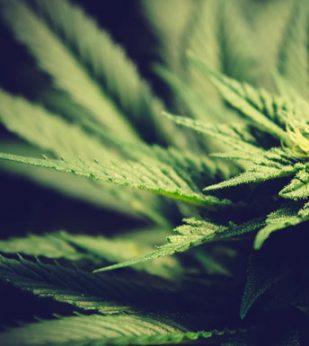 A close up shot of a marijuana plant
